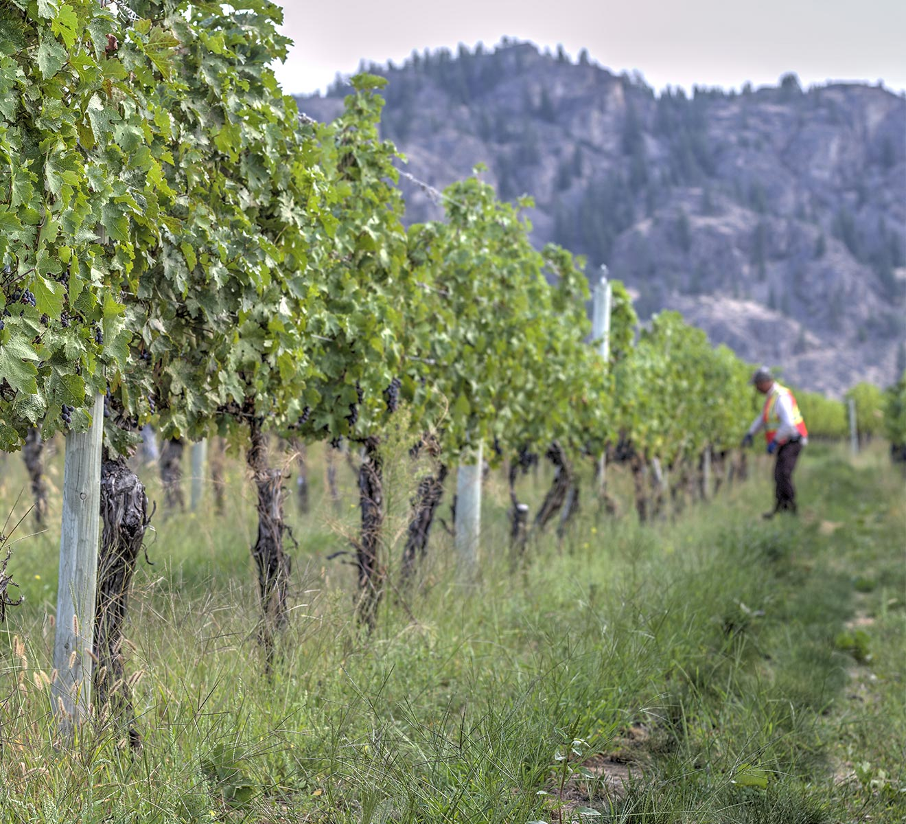 Working by hand on Becker Vineyard on the Black Sage Bech